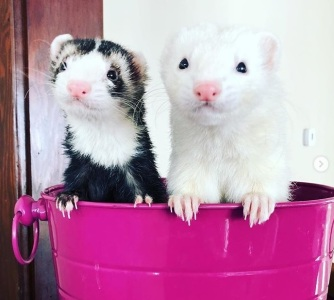 FerretModelsCropped